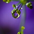 Dill flower by Ulla Jensen