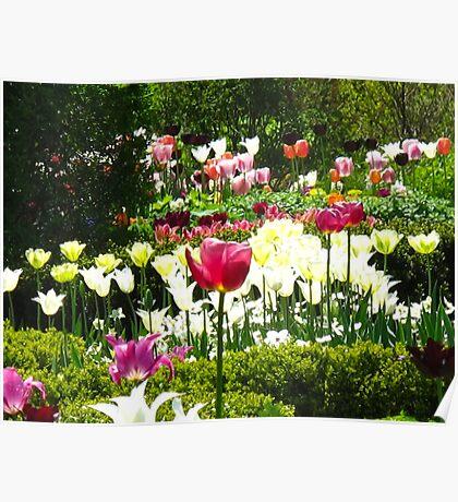 Tulip Haven Poster