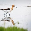 That Lovely Stride (Avocet in Central Wyoming) by A.M. Ruttle