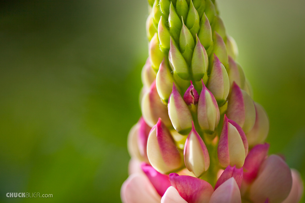 Lupin close up by Charles Blier