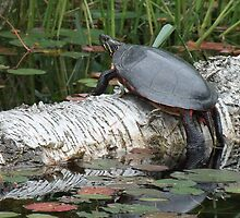 Painted Turtle by Tracy Faught
