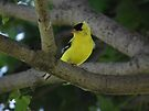 Goldfinch in My Tree by Deb Fedeler