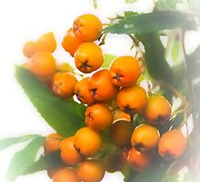 Mountain Ash Berries by missmoneypenny