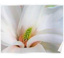 White Magnolia flower, floral art Poster
