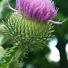Scotch Thistle by Betty Mackey
