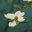 Dogwood Bloom Over Blue Spring by LensTripping