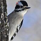 Downy Woodpecker by denahickman