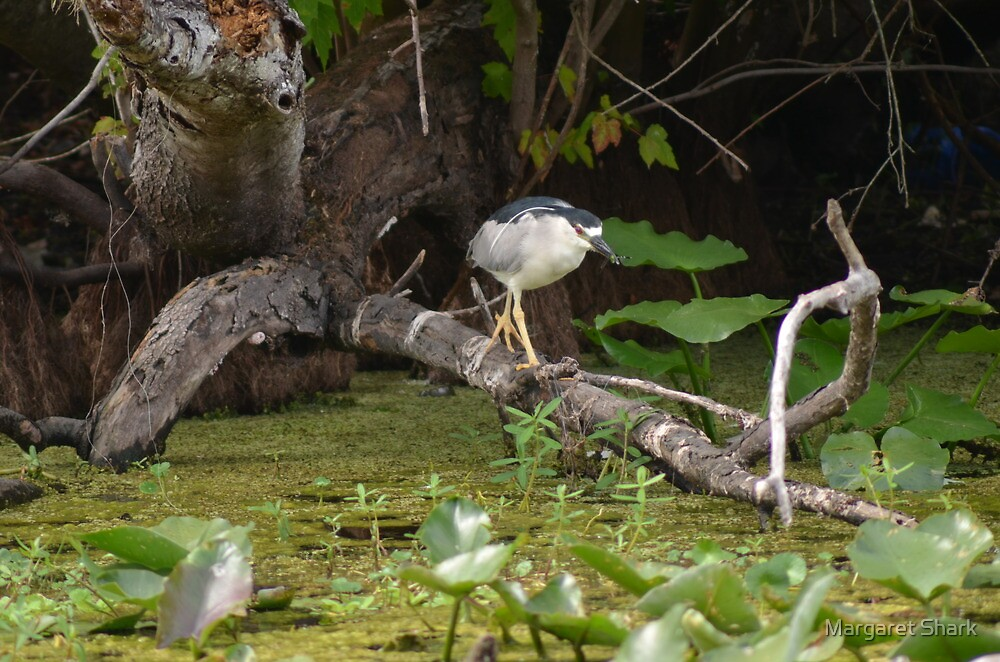 Black crowned night heron  by Margaret  Shark