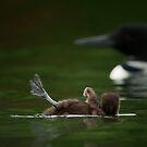 Loon Chick SOS by Bill Maynard