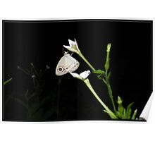 Common four wing butterfly Poster