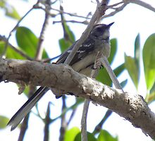 Mangrove Grey Fantail (Rhipidura phasiana) - Cape Range National Park, Western Australia by Dan & Emma Monceaux