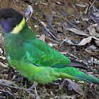 Australian Ringneck Parrot (Barnardius zonarius), John Forrest National Park, Western Australia by Dan & Emma Monceaux