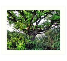 Robbin Hoods Tree  Art Print
