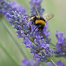 Bee on Lavender stem by Neil Clarke