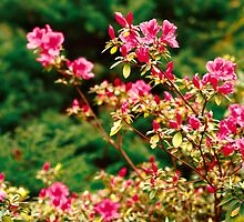 Azaleas blooming by Gaspar Avila