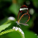 Clearwing Butterfly by Dave Flynn