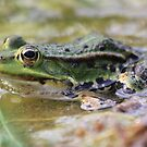 Pelophylax (green frog) by DutchLumix