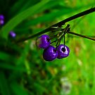 Blue Berries by petitejardim