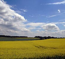 Rapeseed field in sunshine by Antanas