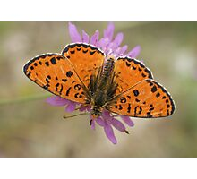 Male Spotted Fritillary Photographic Print