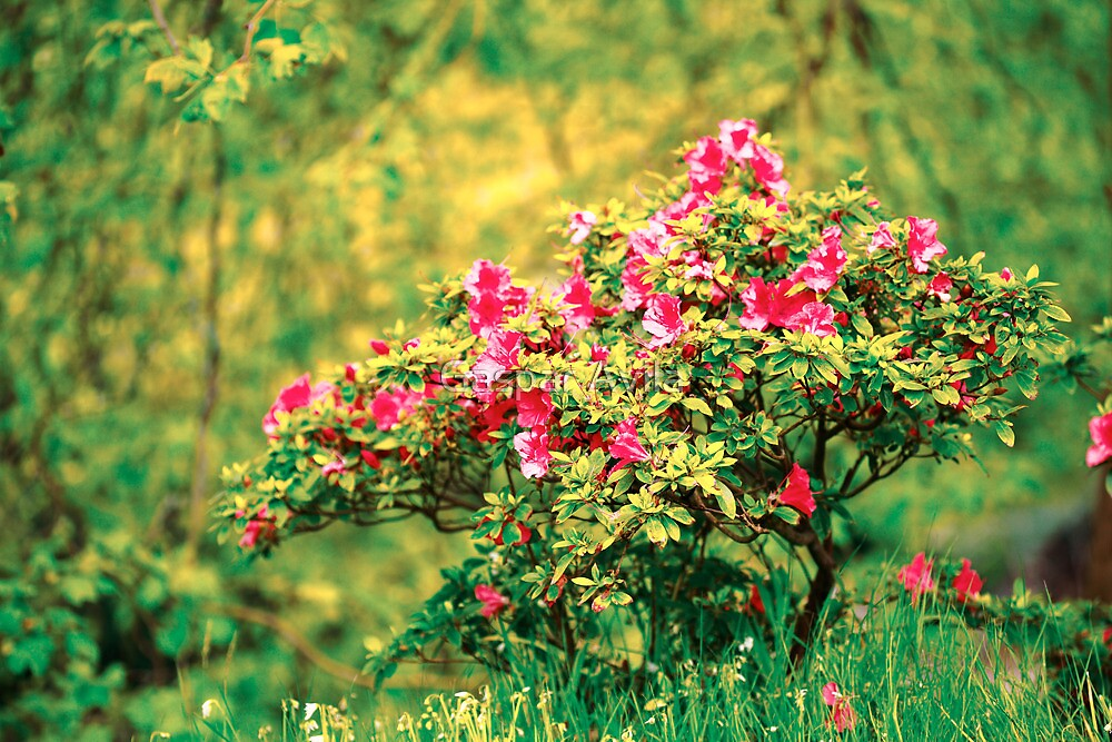 Azalea blooming by Gaspar Avila