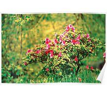 Azalea blooming Poster