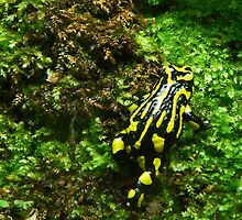 Strolling Southern Corroboree Frog by Margaret Saheed