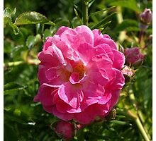 Pink Beach Rose Photographic Print