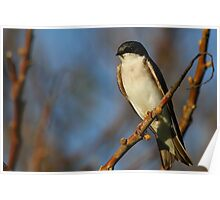 Tree Swallow #1  Poster