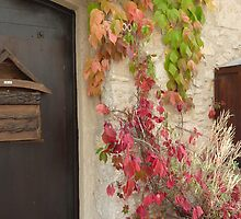 Virginia Creeper in Terracotta Pot by Fara