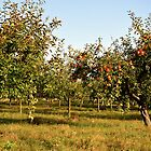 Apple orchard by CameliaC