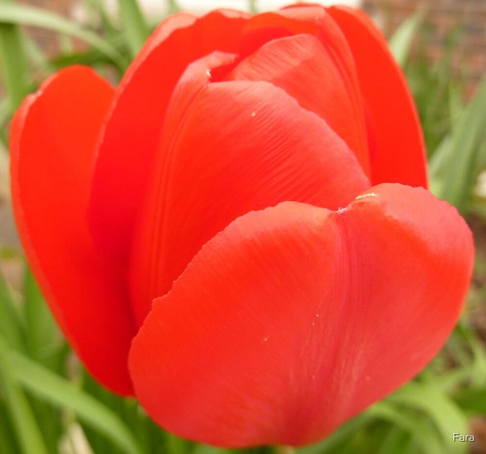 Solitary Tulip by Fara