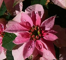 A Poinsettia by PhotosByG