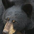 Black Bear by vette