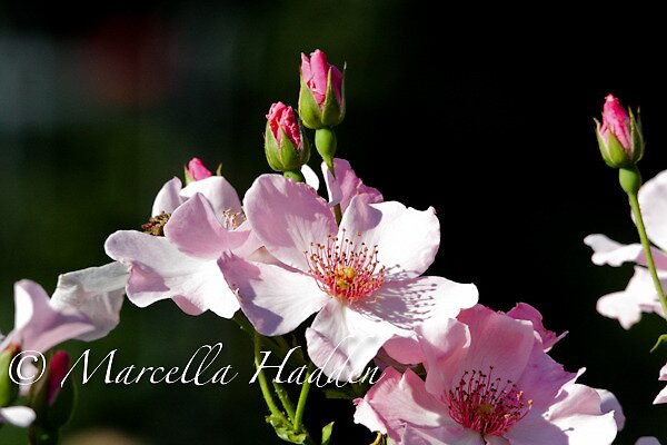 Pink Roses by Marcella Hadden