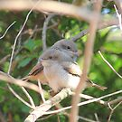 Fiscal Shrike fledglings (Lanius collaris) by Maree  Clarkson