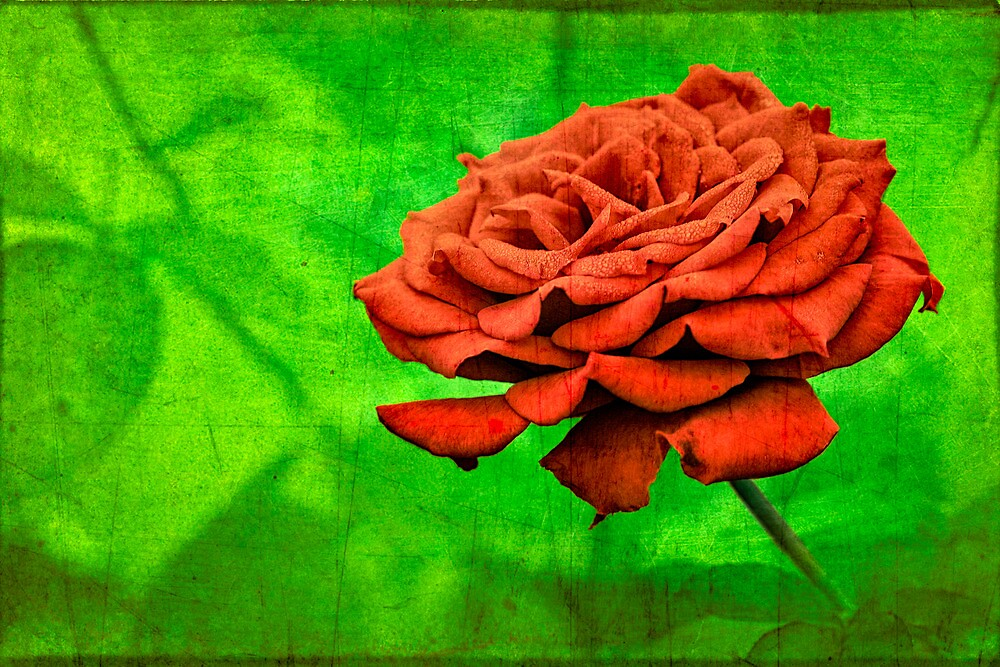 Red Rose in a Garden by Mike Moruzi
