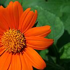 Summer's Orange Flower by Hope A. Burger