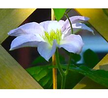 Clematis in frame Photographic Print