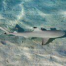 Blacktip reef shark (Carcarhinus melanopterus) swims in shallow waters by Atanas Bozhikov NASKO