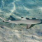 Blacktip reef shark (Carcarhinus melanopterus) swims in shallow waters by Bruno Beach