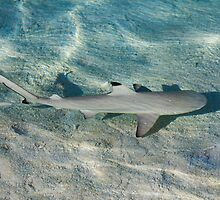 Blacktip reef shark (Carcarhinus melanopterus) swims in shallow waters by Atanas Bozhikov NASKO