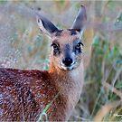 THE TINY, SHY, SCARCE, SHARPE'S GRYSBOK – Raphicerus sharpei Kruger National Park by Magaret Meintjes