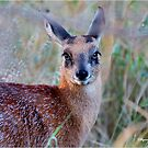 THE TINY, SHY, SCARCE, SHARPE'S GRYSBOK – Raphicerus sharpei Kruger National Park by Magriet Meintjes