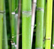 Bamboo Forest by Dean Bailey