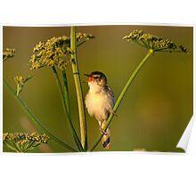 A little bird (Acrocephalus schoenobaenus) Poster