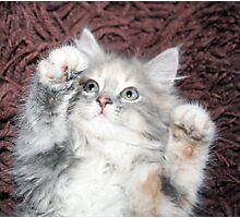 pretty grey and white kitten  Photographic Print