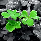 *Clovers and raindrops* by Abigail Shirley