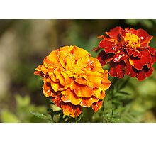 French Marigolds Photographic Print