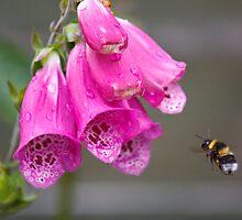 Foxglove Bee by Nick Jermy